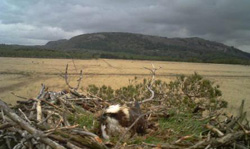 Nesting Osprey at Witherslack